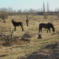 Pastva Exmoorských koní v bývalém VVP Milovice
