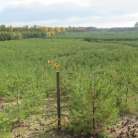 Monotonní řady borovic: lesnická rekultivace