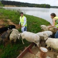 Převoz ovcí na ostrov remorkérem