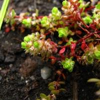 Illecebrum verticillatum: těžená rašeliniště jako náhradní biotop